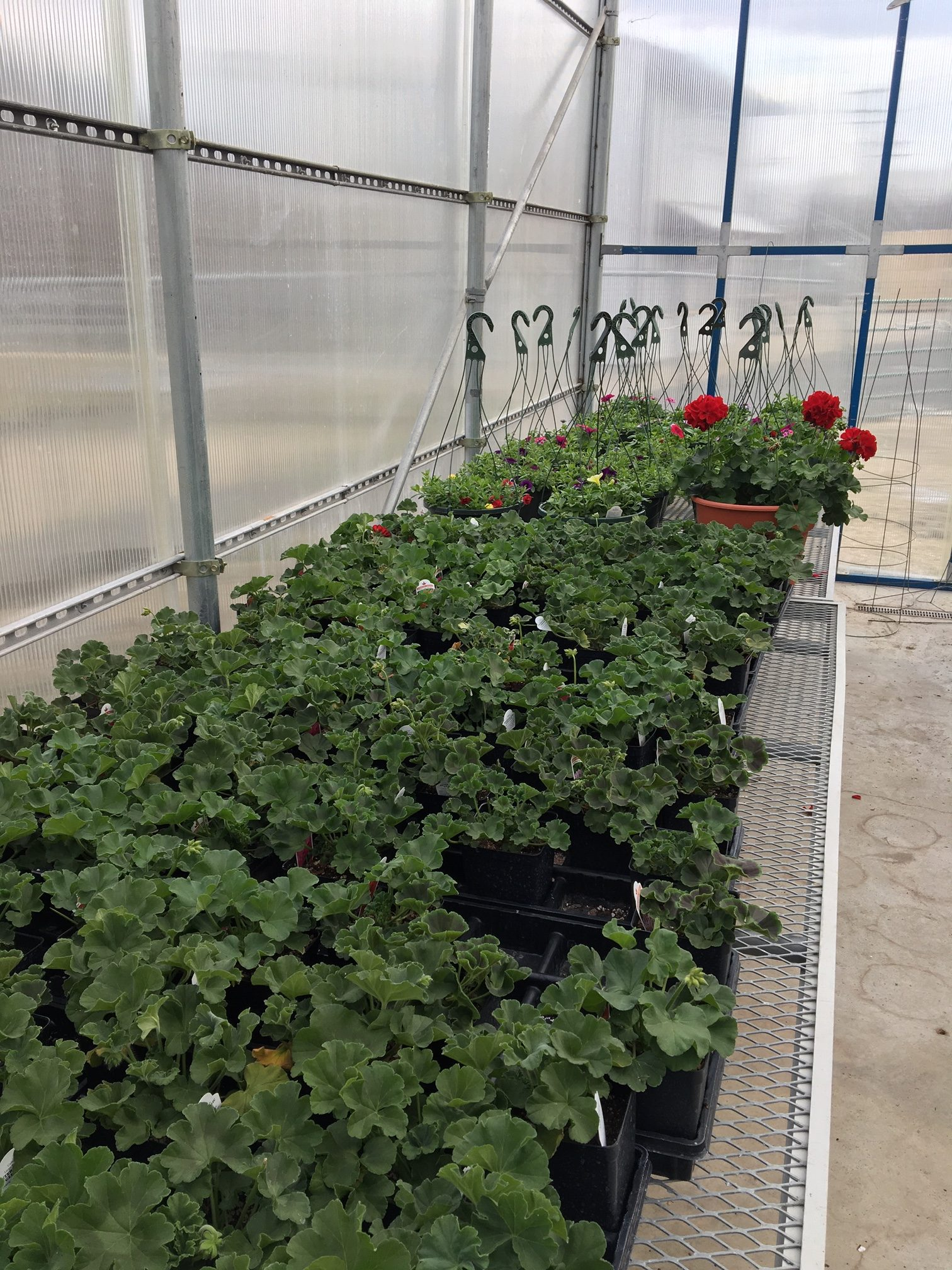 The school greenhouse in De Soto is currently housing around 140 hanging baskets, 125 geraniums and 5,000 bedding plants. The plants will be sold this May in a format to be determined due to the school closure.